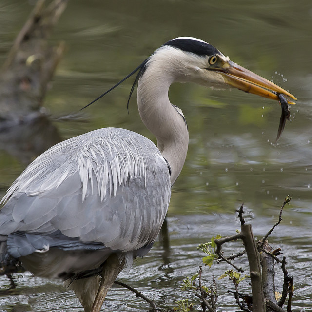 """A Grey Heron with its catch."" stock image"