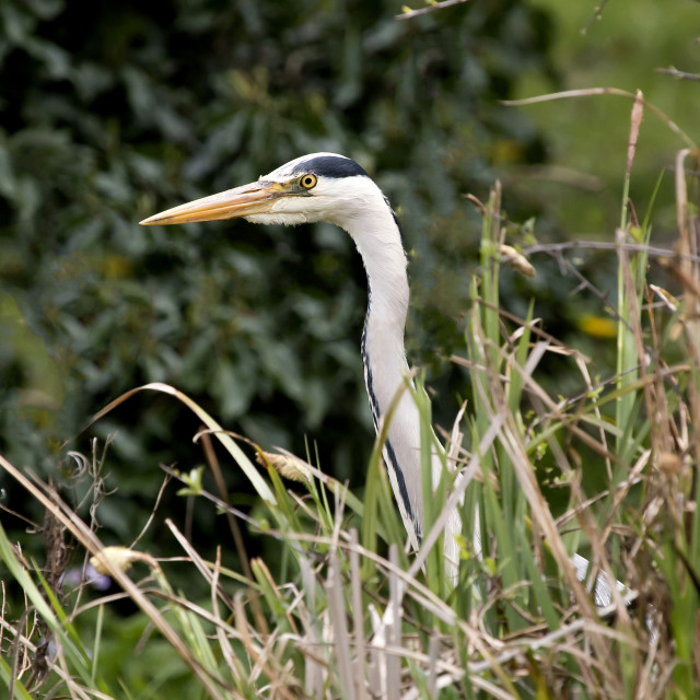 """A Grey Heron in undergrowth."" stock image"
