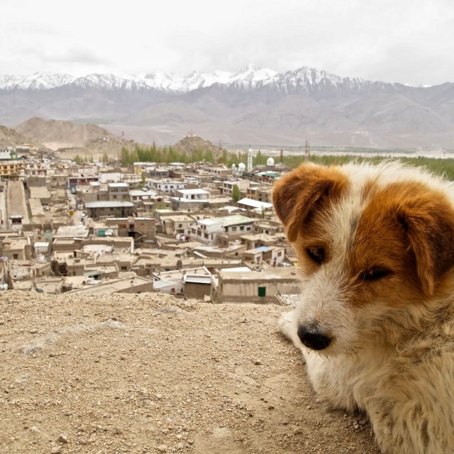 """Dog looking over Leh, India"" stock image"
