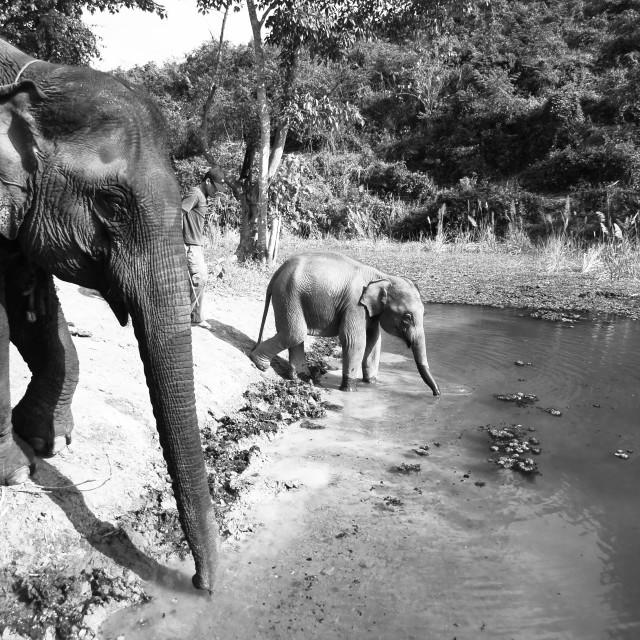 """""""Elephants bathe"""" stock image"""