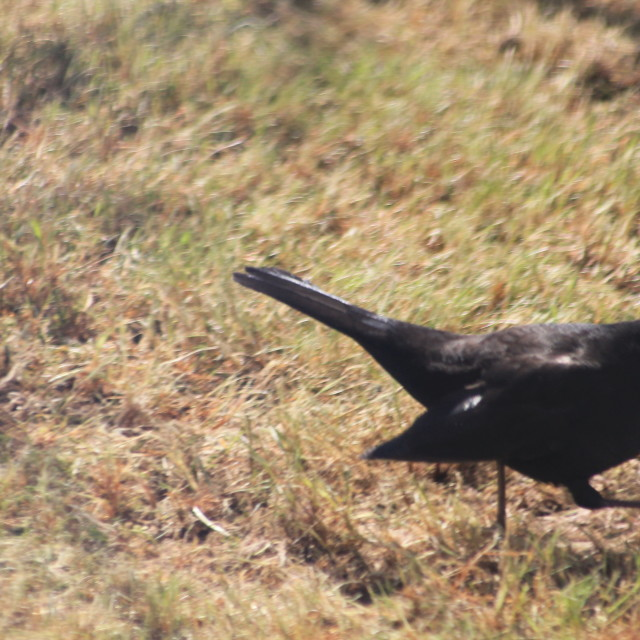 """Blackbird stretching his legs"" stock image"