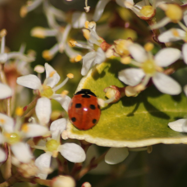 """7 spot ladybird"" stock image"