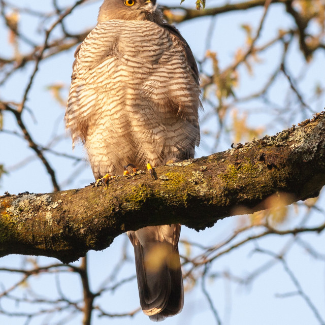 """Sparrowhawk Female"" stock image"