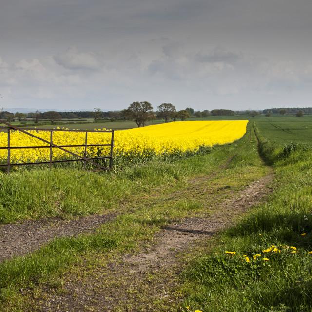 """""""oil seed rape field"""" stock image"""