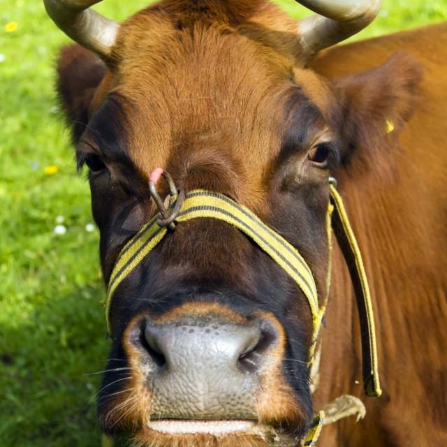 """""""Large brown bull"""" stock image"""