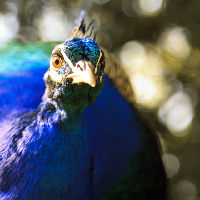 """Angry stunning blue peacock"" stock image"