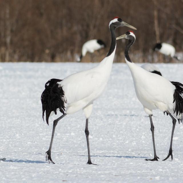 """Japanese cranes"" stock image"