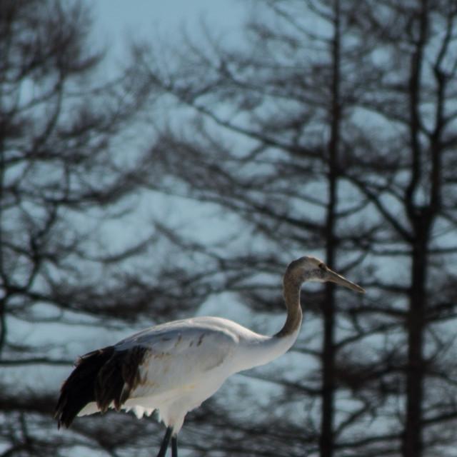 """Japanese crane"" stock image"