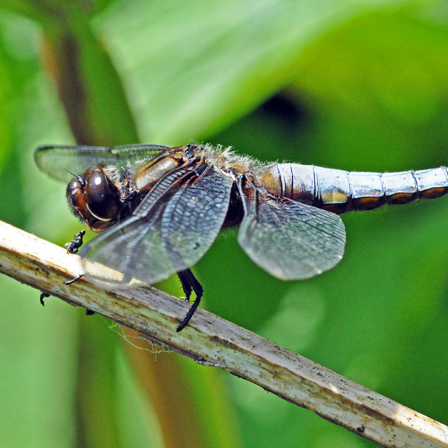 """Broad bodied Chaser"" stock image"