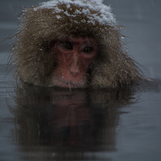 """Japanese snow monkey"" stock image"
