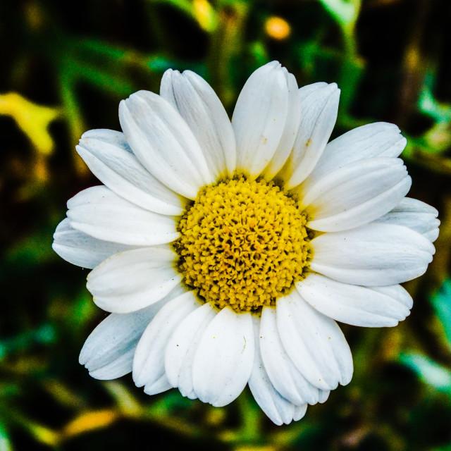 """""""Daisy, Daisy......"""" stock image"""