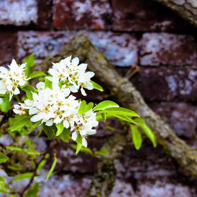 """Pear Blossom - Wall"" stock image"