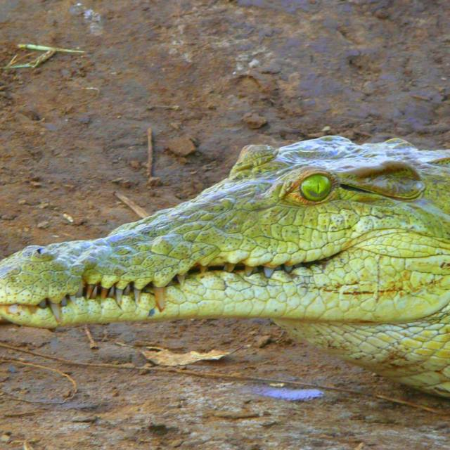 """Crocodile ... close-up!"" stock image"
