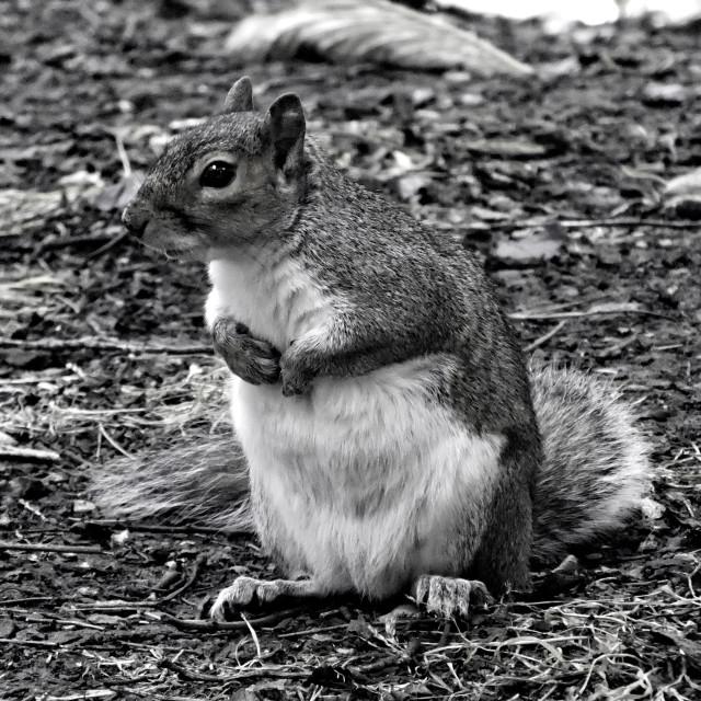 """Begging Squirrel"" stock image"
