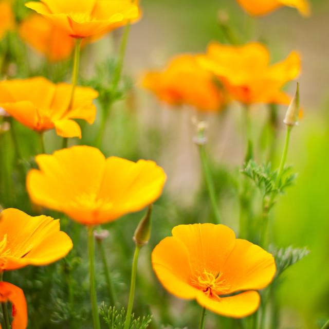 """""""Orange Poppies Field"""" stock image"""