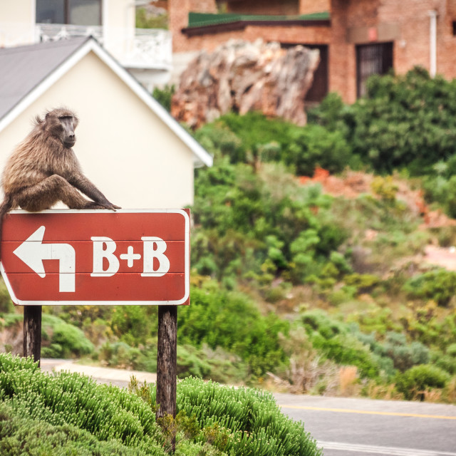 """B&B Baboon"" stock image"
