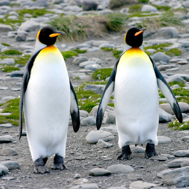 """2 King penguins on beach"" stock image"