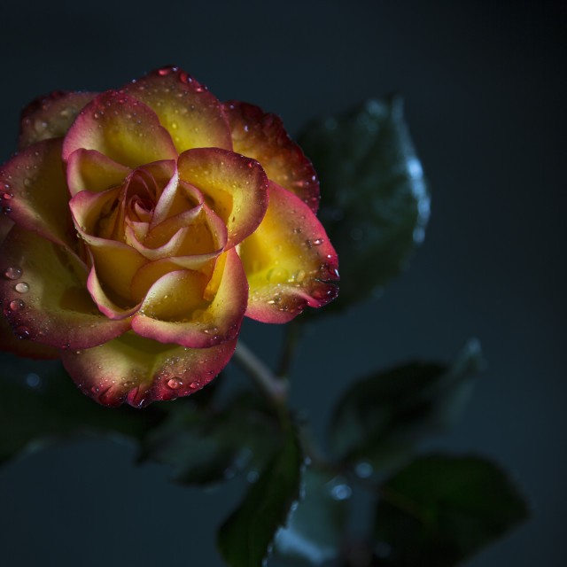 """A Rose"" stock image"