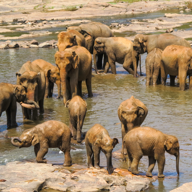 """Herd of Elephants in a River"" stock image"