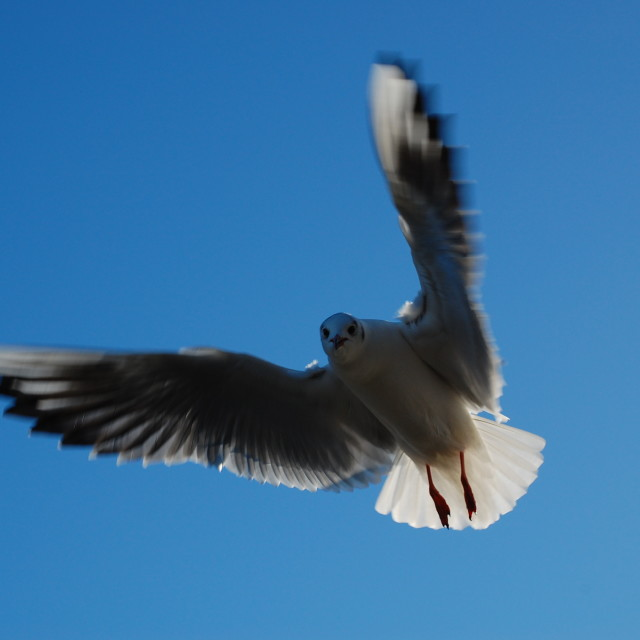 """Hovering Gull"" stock image"