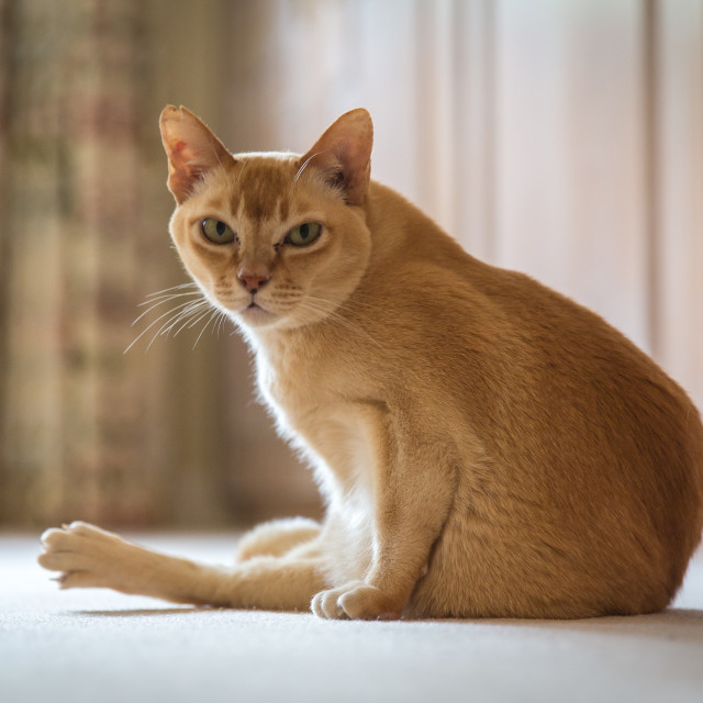 """Burmese Cat"" stock image"