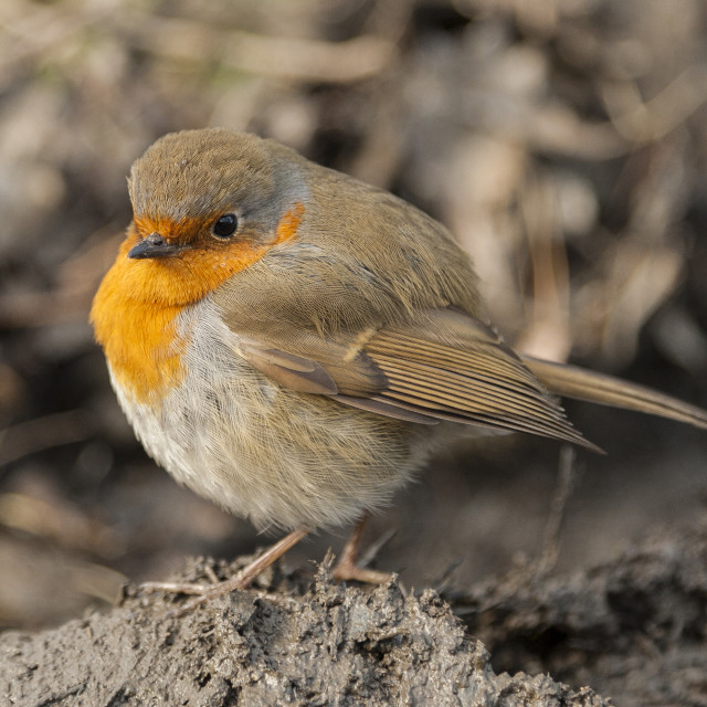 """Robin up close"" stock image"