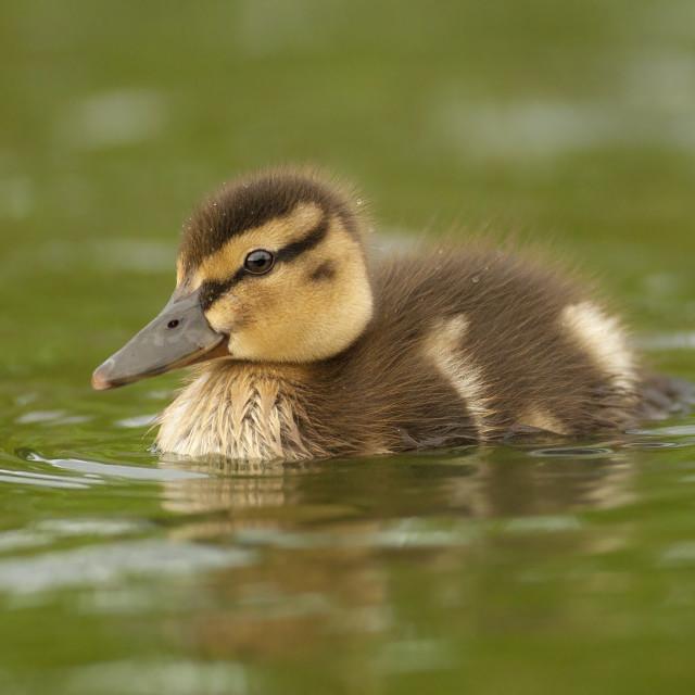 """Baby Mallard Duck"" stock image"