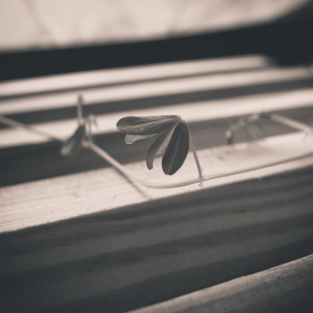 """Lentil seedling on a wooden stand."" stock image"