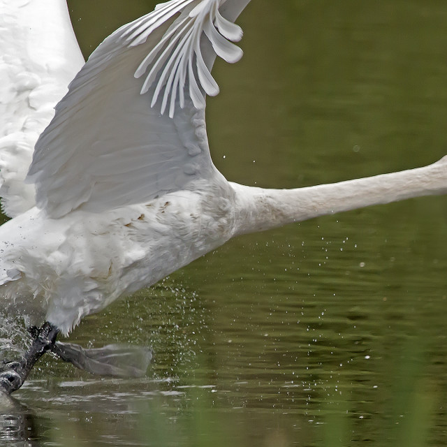 """""""A Swan take off."""" stock image"""