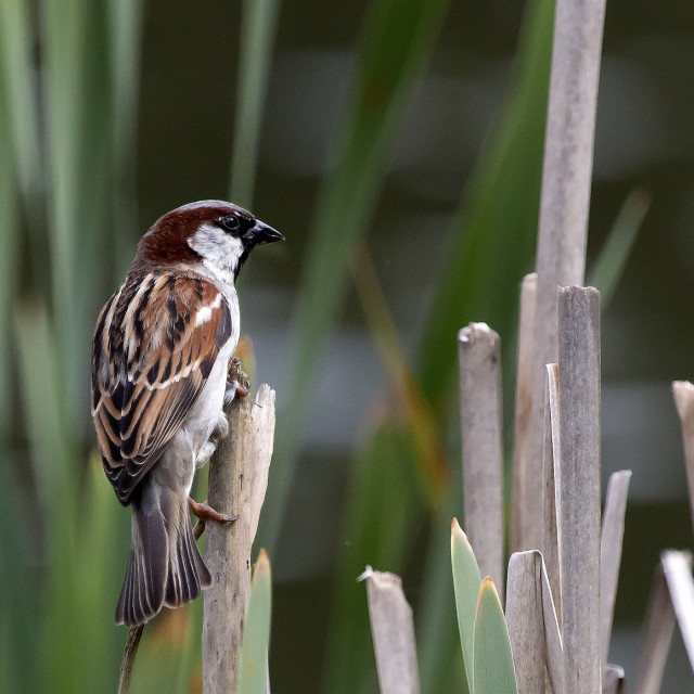 """Sparrow perched in reeds."" stock image"