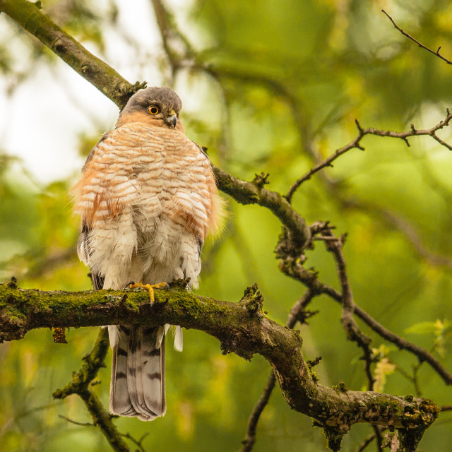 """""""Sparrowhawk Male"""" stock image"""