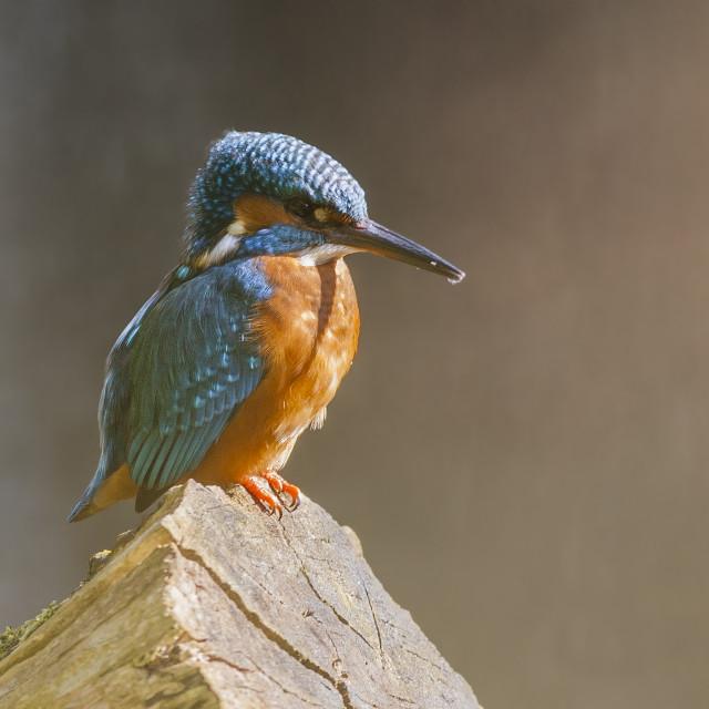 """Kingfisher Male"" stock image"