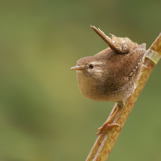 """Curious Wren"" stock image"