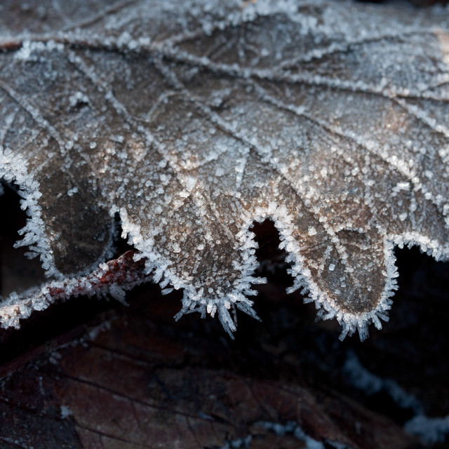 """Ice, Leaf"" stock image"