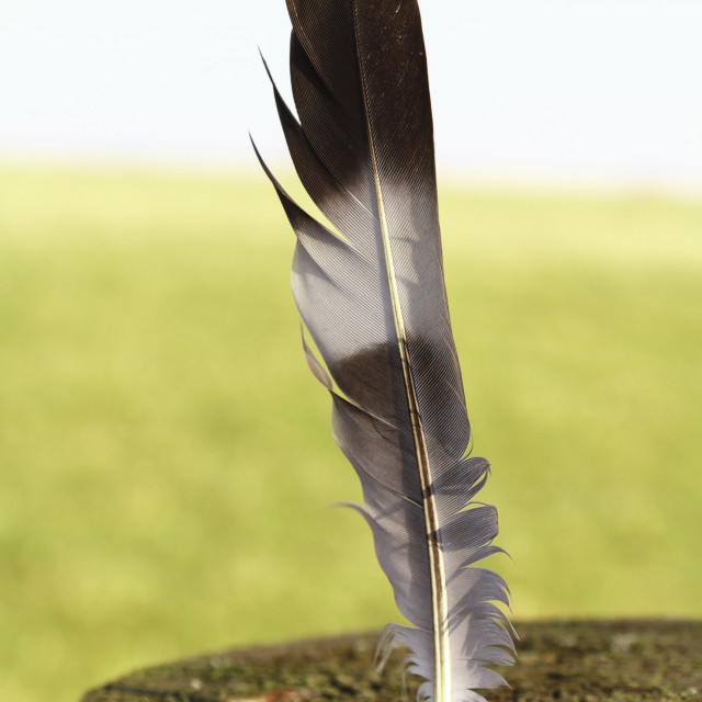 """""""Fallen feather"""" stock image"""