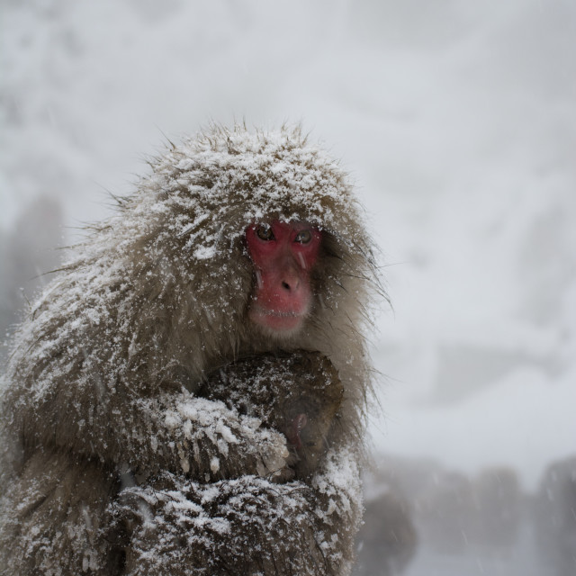 """Mother and baby Japanese snow monkeys"" stock image"