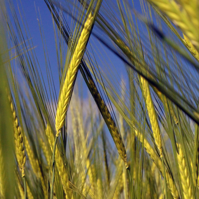 """Ear Of Wheat"" stock image"
