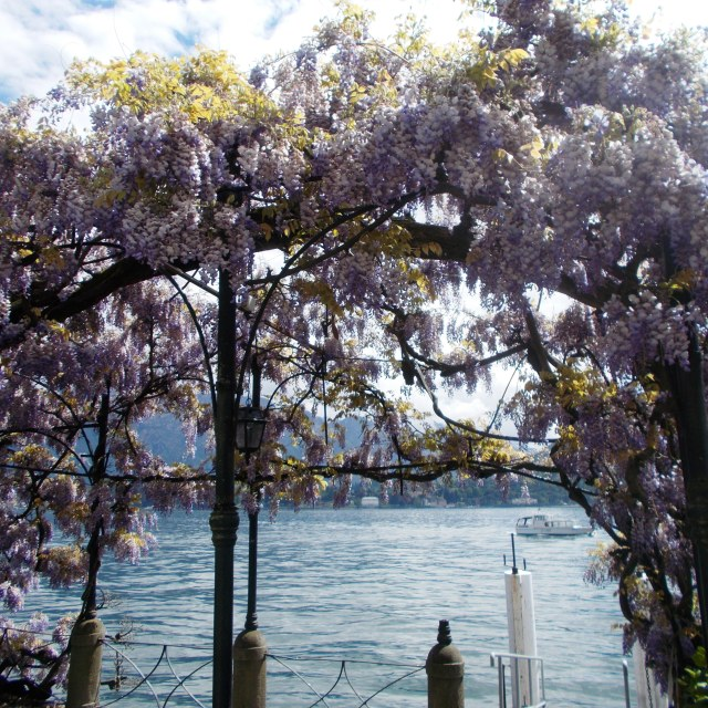 """Flowering Wisteria"" stock image"