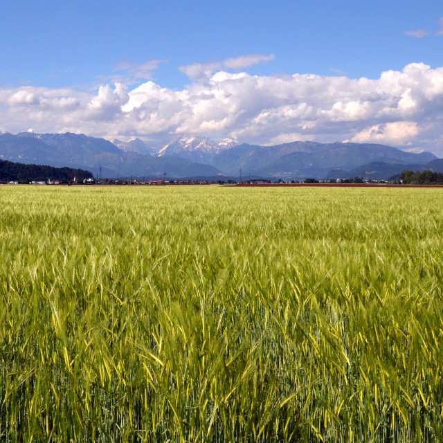 """Wheat Field And Mountains"" stock image"