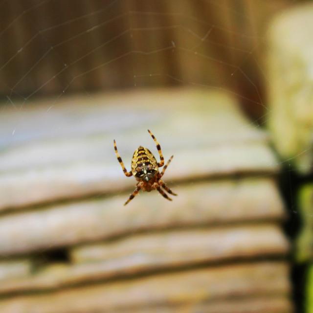 """Predator Spider"" stock image"