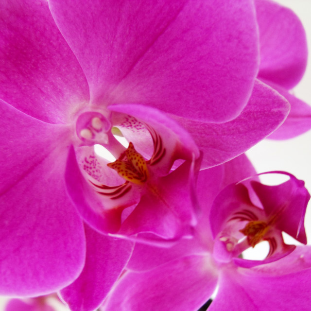"""Purple Orchids"" stock image"