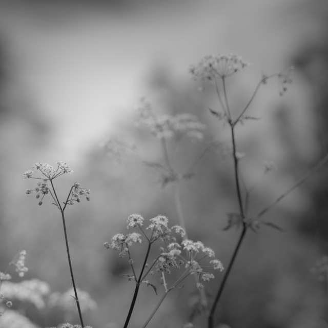 """Cow Parsley"" stock image"