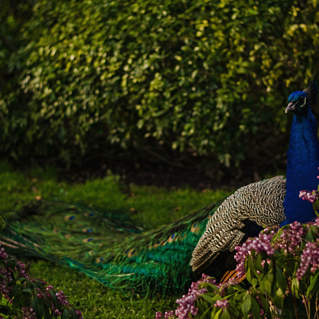 """Peacock in Kyoto Gardens"" stock image"
