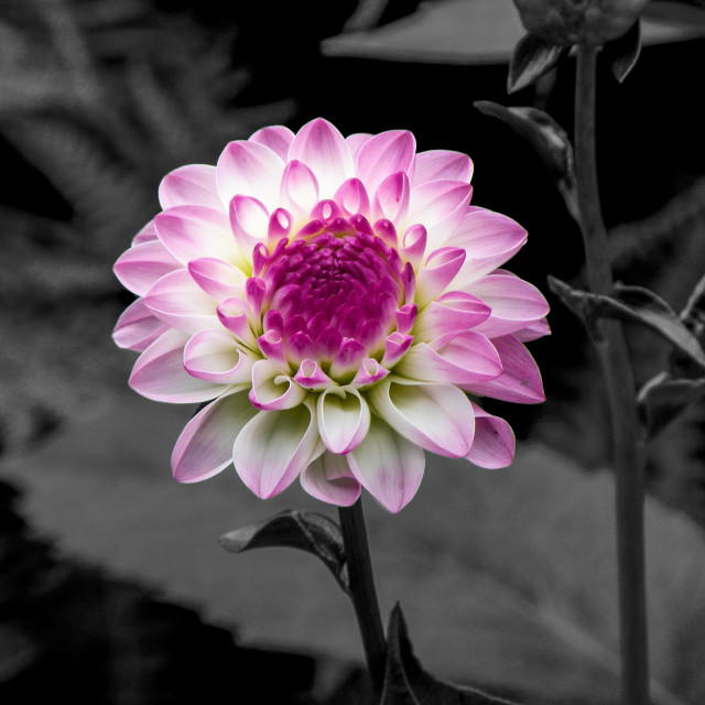"""Pink and White Flower"" stock image"