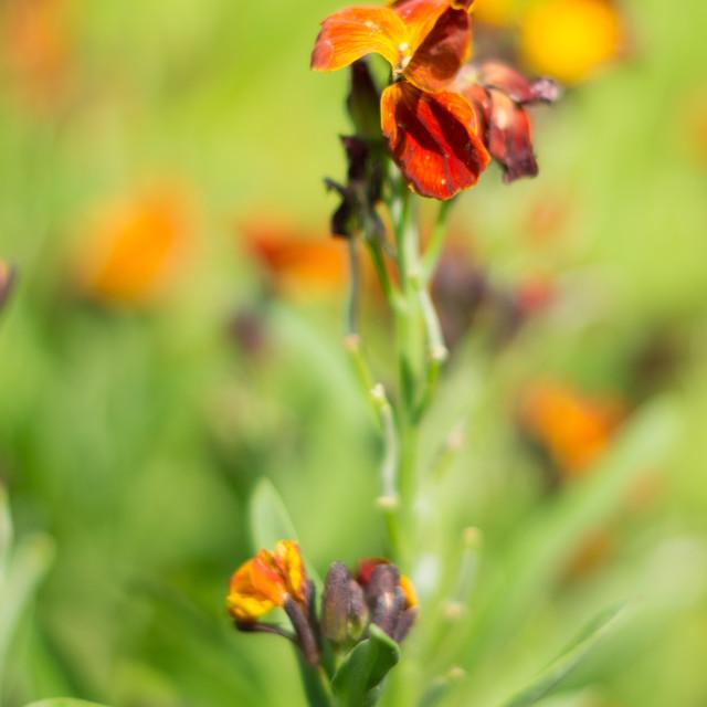 """""""Tiny Iris"""" stock image"""