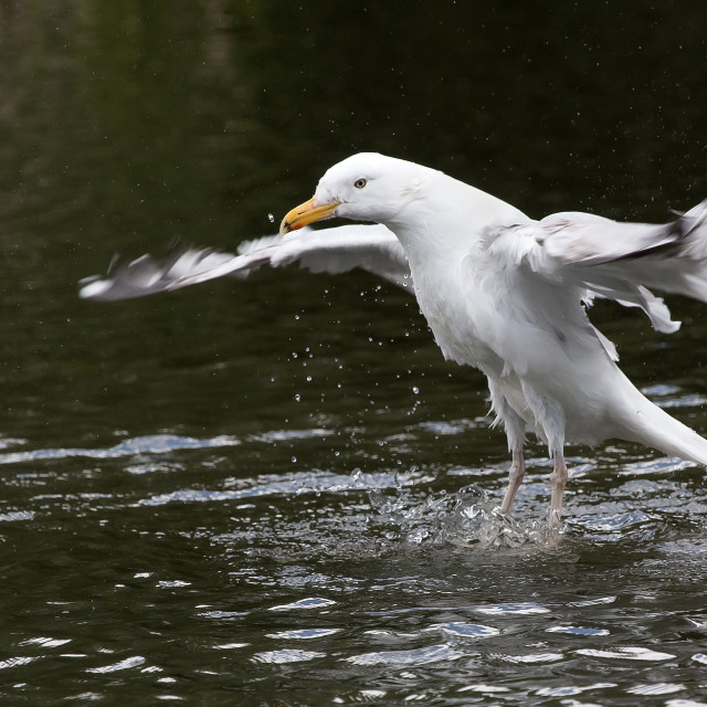 """""""A Gull on water."""" stock image"""