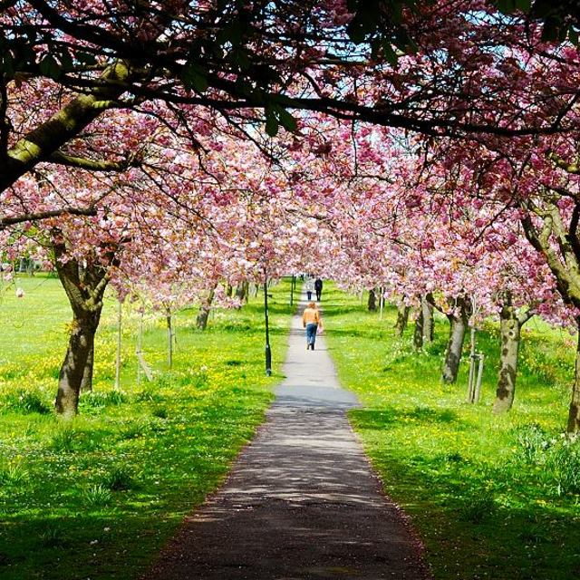 """""""Cherry Walk"""" stock image"""