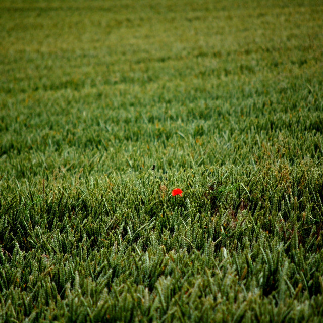 """Solitary Poppy"" stock image"