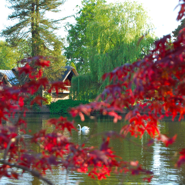 """Swan through red foliage"" stock image"
