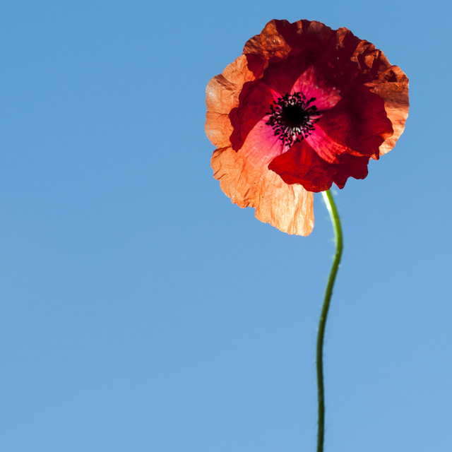 """Single Poppy"" stock image"